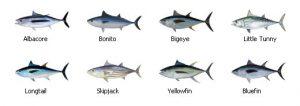 tuna_searching_tricks_to_finding_tuna_000